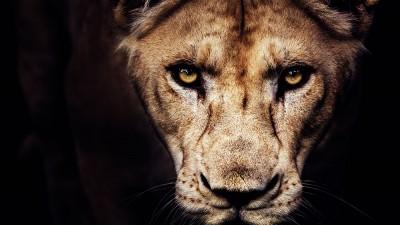 Faut-il privatiser les lions d'Afrique ?
