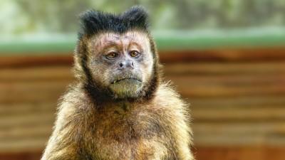 D'où vient l'expression « Monnaie de singe » ?