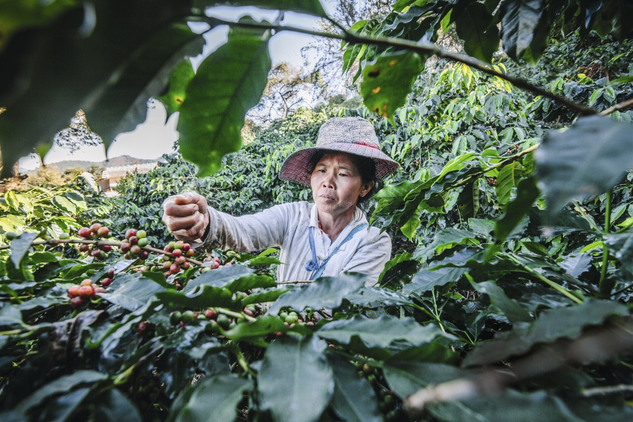 Women-from-Thailand-picking-red-coffee.-543478918_5184x3456.jpg