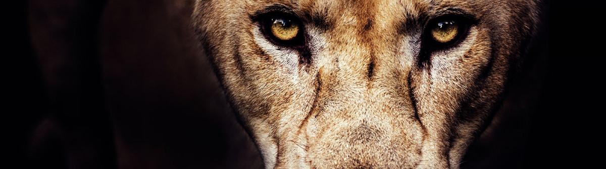 Pour sauver les lions d'Afrique, faut-il les privatiser?