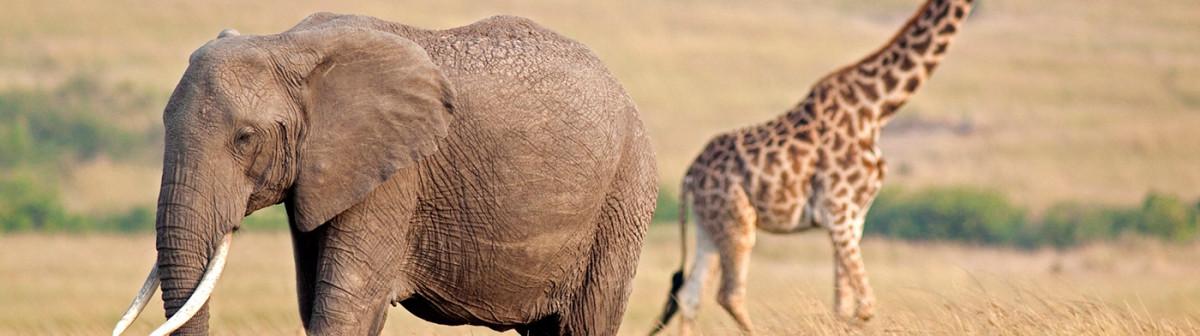Intérêts économiques : les girafes et les éléphants peuvent souffler