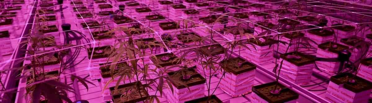 """Cannabis : """"Pour éliminer le marché noir, il faut faire confiance auconsommateur."""""""