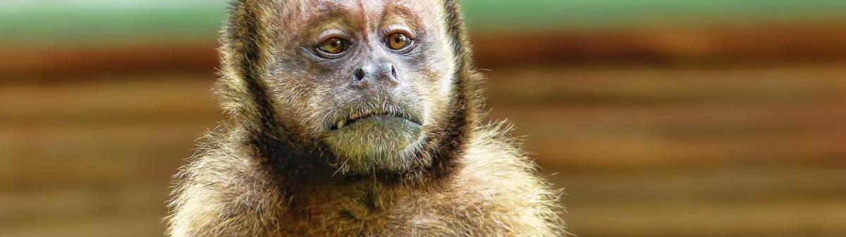 D'où vient l'expression«Monnaie de singe» ?